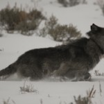 Race to the Coyote