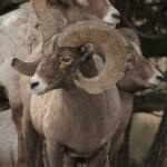 Rams Align
