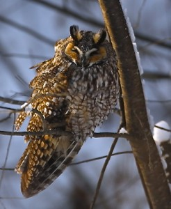 Long Ear Owl