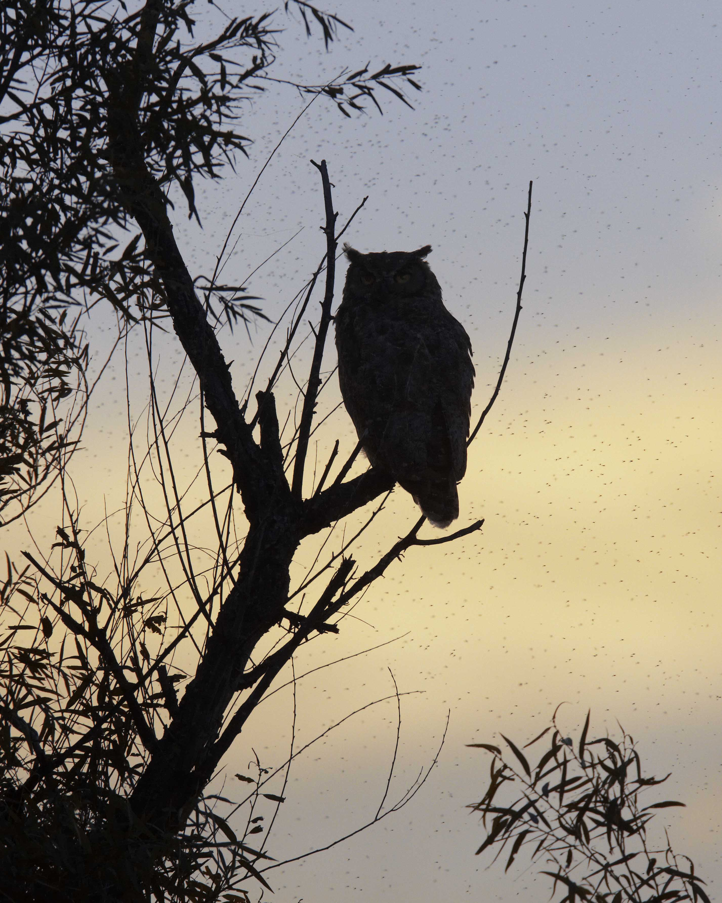 Flying Owl Silhouette Great horned owl