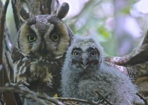 Long Ear Owls