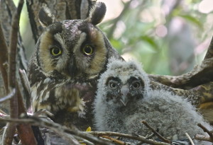Long Ear Owls