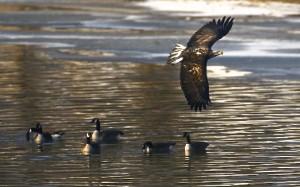 Bald Eagle (immature), Canada Geese