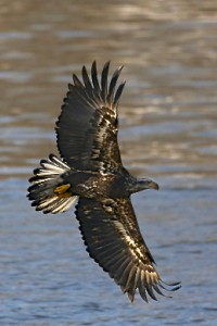 Bald Eagle (immature)