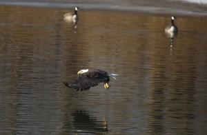 Bald Eagle & Canada Geese