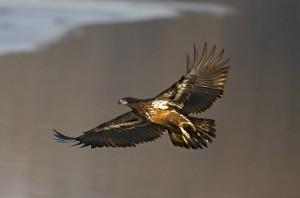 Bald Eagle ( immature)
