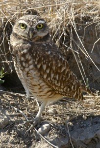 Burrowing Owl, Antelope Island S.P., UT