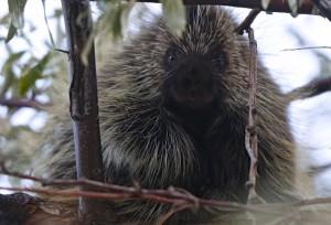 Porcupine, Antelope Island S.P., UT