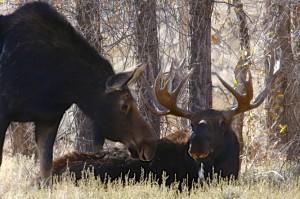 Moose, Grand Teton N.P.