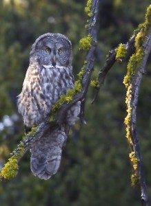 Great Gray Owl, Yellowstone