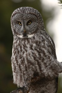 Great Gray Owl, Yellowstone N.P.