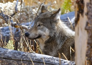Grey Wolf, Yellowstone N.P.
