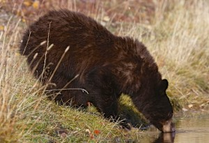 Black Bear ( cinnamon), Grand Teton