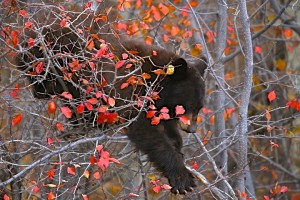 Black Bear (cinnamon), Grand Teton N.P.