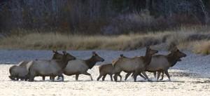 Elk, Grand Teton N.P.
