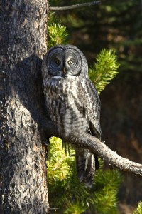 Great Gray Owl, Bridger-Teton N.F., WY