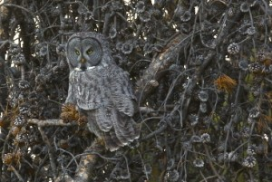 Great Gray Owl, Bridger Teton N.F., WY